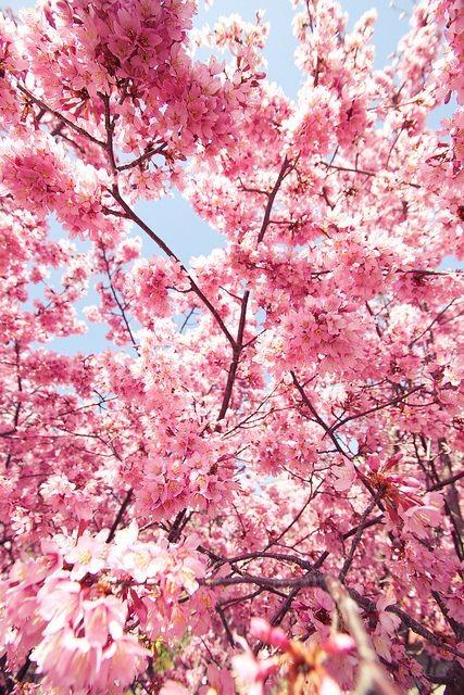 گیلان زیباکنار شکوفه های درختان میوه در فصل بهار