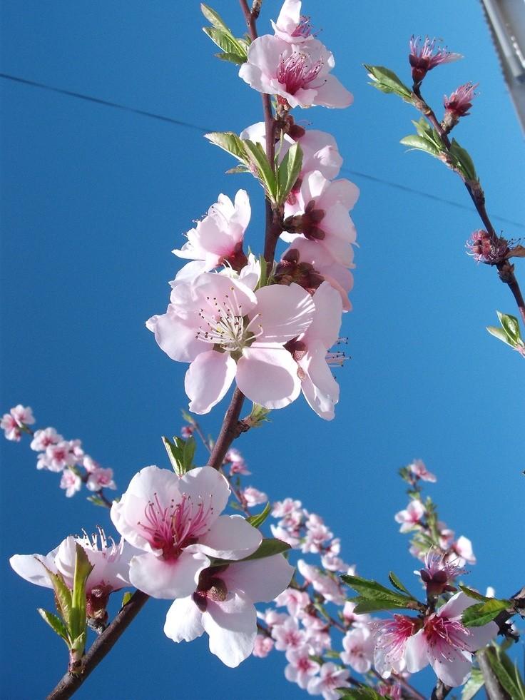 شکوفه های بهاری در طبیعت زیباکنار گیلان