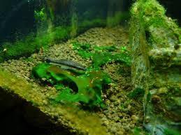 جلبک سبز -آبی (BGA، سیانو باکتر و یا جلبک چسبناک)