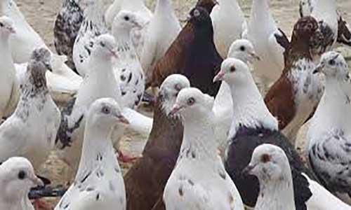 آموزش و نگهداری از کبوتر