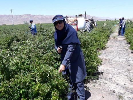 بازدید دکتر نگهبان از مزارع گل محمدی گلاب زهرا