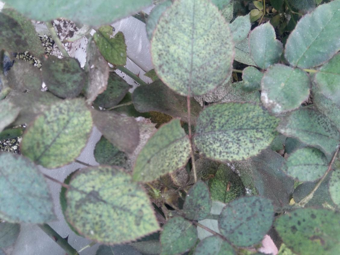 قارچ فوماژین یا دوده که روی عسلک سفید بالک رشد کرده است