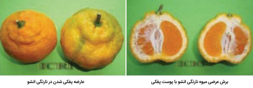 پفکی شدن میوه مرکبات از مهمترین علل ضایعات مرکبات