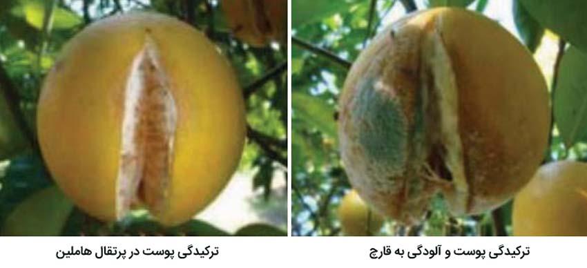علایم ترکیدگی میوه مرکبات از مهمترین علل ضایعات مرکبات