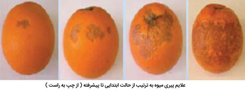 علایم پیری میوه در مرکبات
