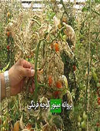 پروانه مینوز گوجه فرنگی