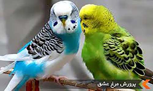 اصول نگهداری و پرورش مرغ عشق