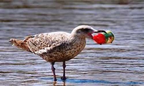 حل معمای علاقه پرندگان دریایی به خوردن انواع پلاستیک