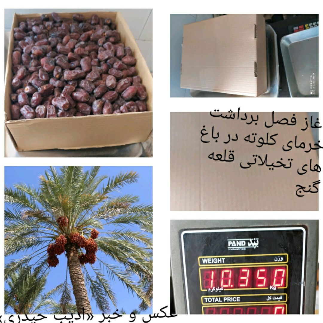 آغاز برداشت محصول خرمای رقم «کلوته»  از سطح ۲۵۰۰ هکتار باغ نخیلاتی شهرستان قلعه گنج
