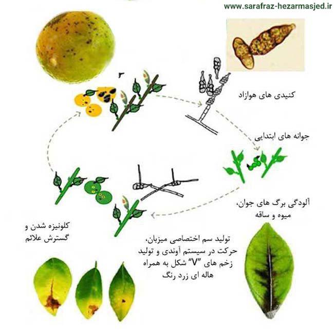 زیست شناسی بیماری لکه قهوه ای آلترناریایی مرکبات با عامل Alternaria alternata pv citri