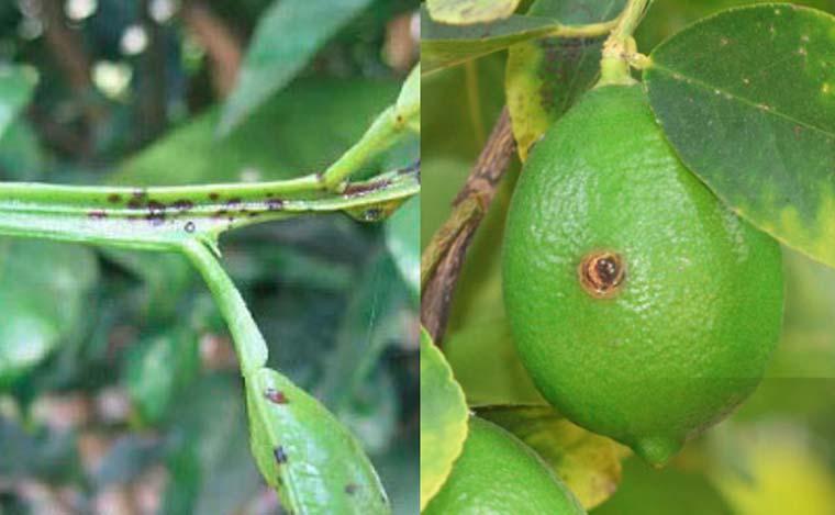 نشانه های بیماری لکه قهوه ای آلترناریایی مرکبات روی میوه و برگ و سر شاخه
