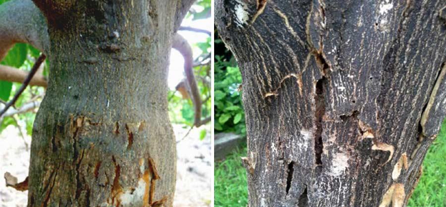 علایم بیماری اگزوکورتیس مرکبات روی تنه درخت